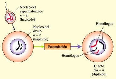 Cigoto Diploide
